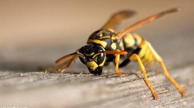 Combaterea viespilor